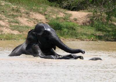 wilpattu-elephant